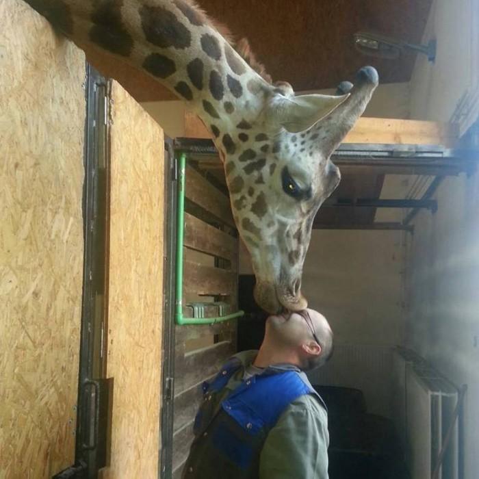 giraffe kisses.jpg