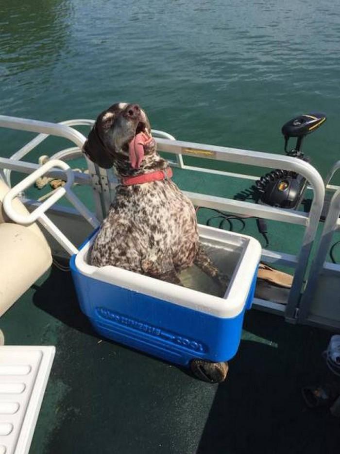 cooler cooled boat dog.jpg