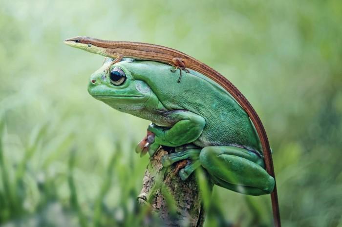 lizard riding a frog