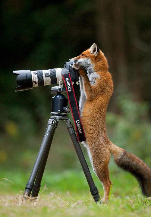 tumblr mom3xxA2no1rhqiodo1 1280 fox and camera Technology Nature