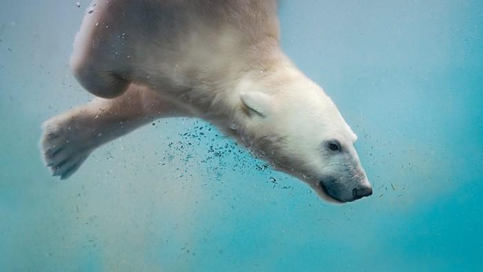 A polar bear plunging.jpg
