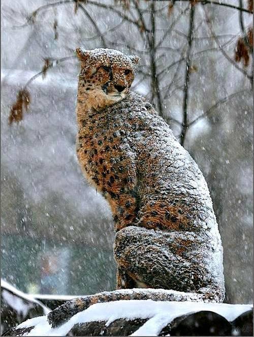 CNSKe6z snow leopard animals