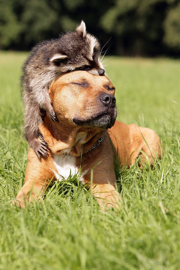 raccoon loves dog.jpg