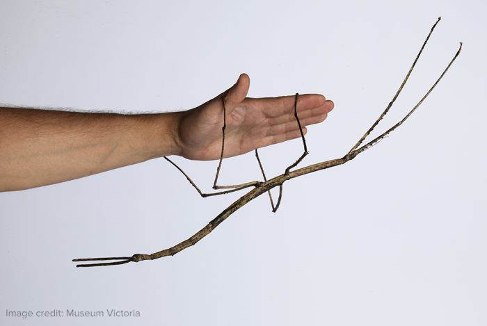 giant stick bug.png