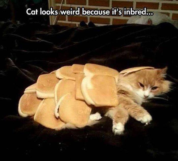 inbred cat 700x635 inbred cat
