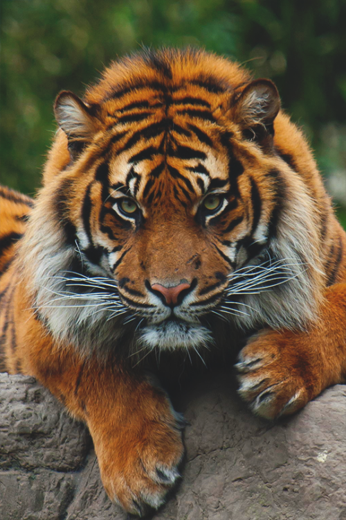 hungry tiger.png