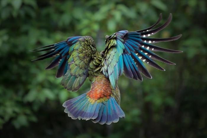 parrot in flight.jpg