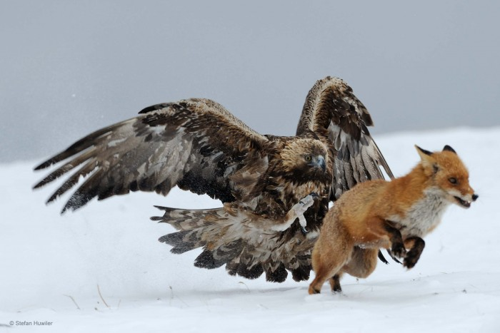 Hawk vs Fox.jpg