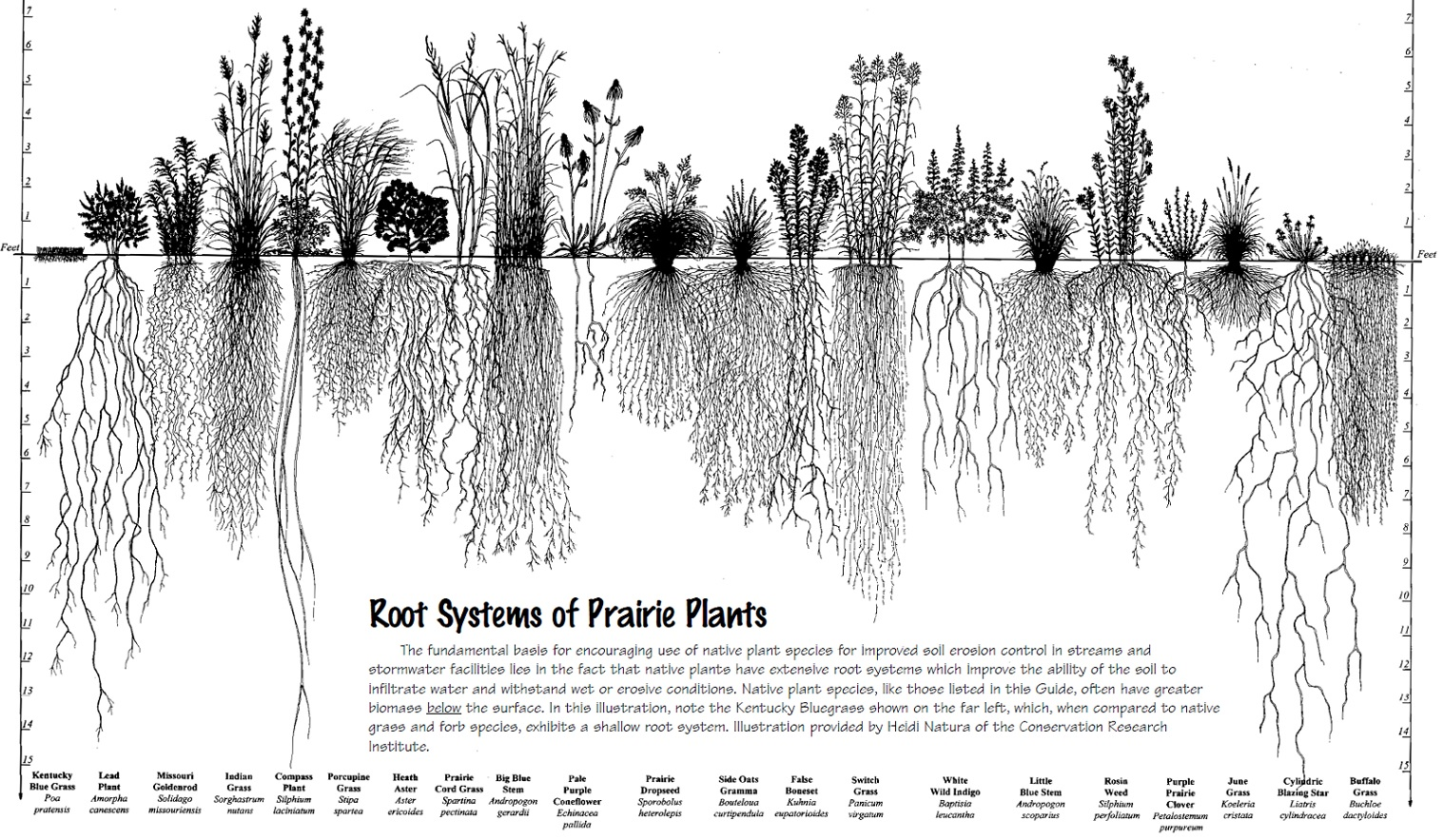 root systems of prairie Plants.jpg