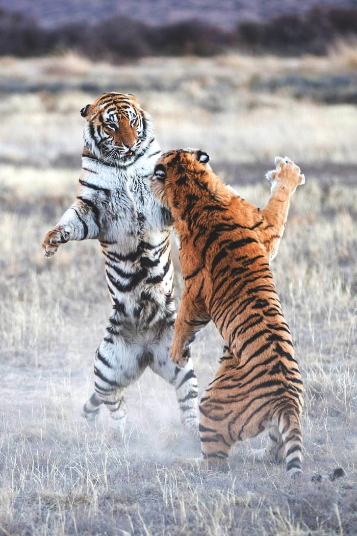 tiger fight.jpg