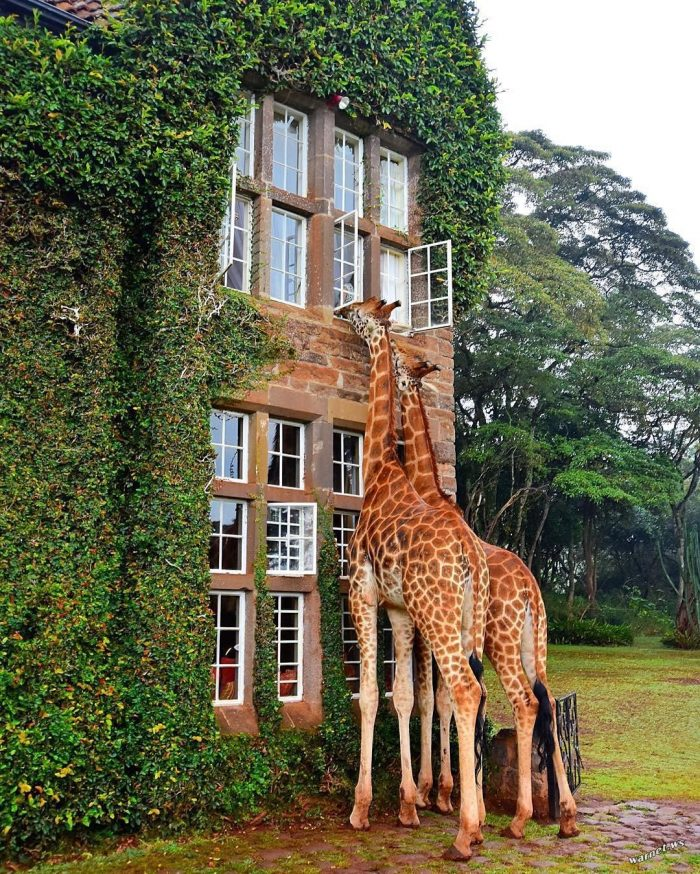 giraffe window.jpg