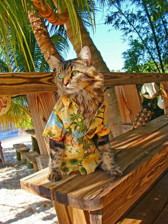 hawaiian Cat 700x934 hawaiian Cat lolcats fashion Awesome Things