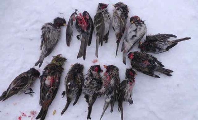 redpolls-killed-by-great-tits-lassi-kujala-600-px-tiny-feb-2013