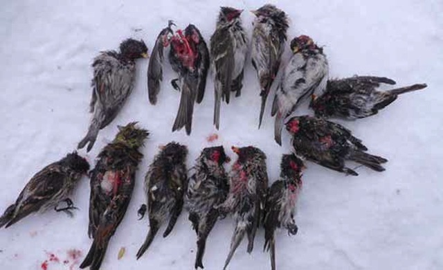 redpolls-killed-by-great-tits-lassi-kujala-600-px-tiny-feb-2013