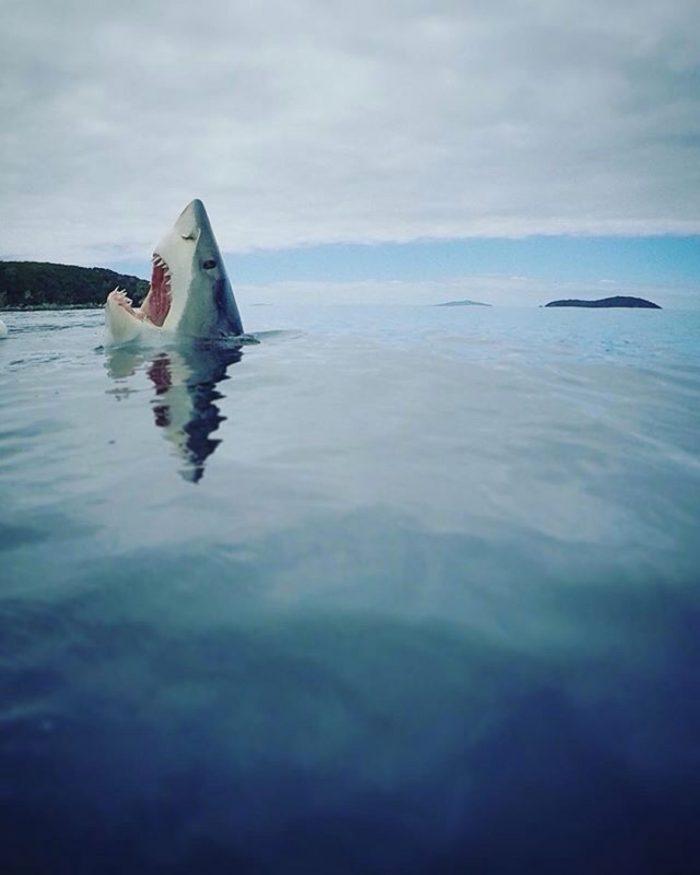 tumblr o0gccu8haK1sdoxrbo1 1280 700x875 Shark! photograph Great White Shark