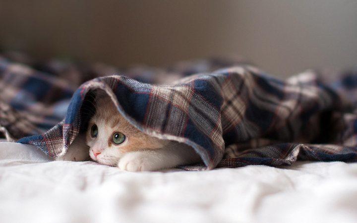 Cat under blanket 720x450 Cat under blanket