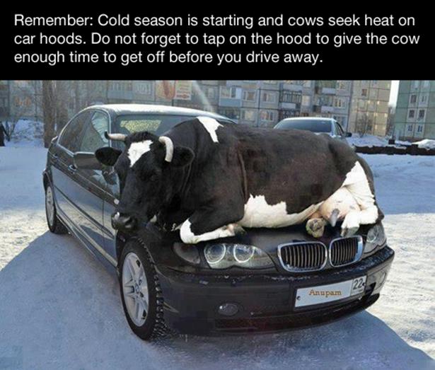 cow afternoon-break-010-11112013