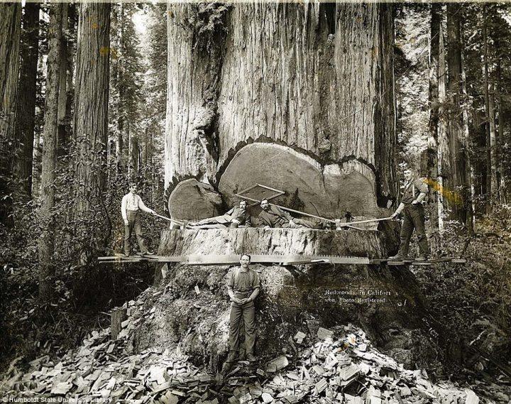 tree 424419 488079501238934 909971658 n 720x569 Tree wtf vintage tree Redwood interesting california awesome