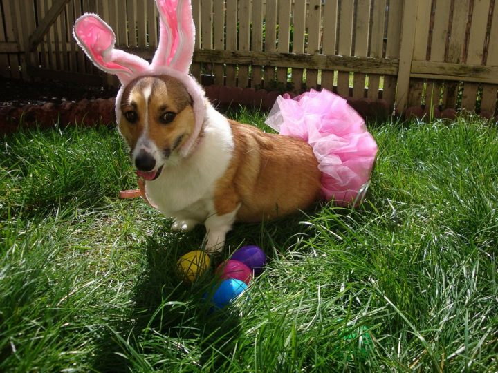 Corgie Easter Bunny.jpg