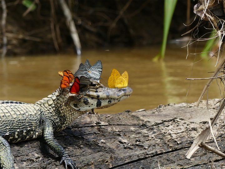 Butterfly Gator.jpg