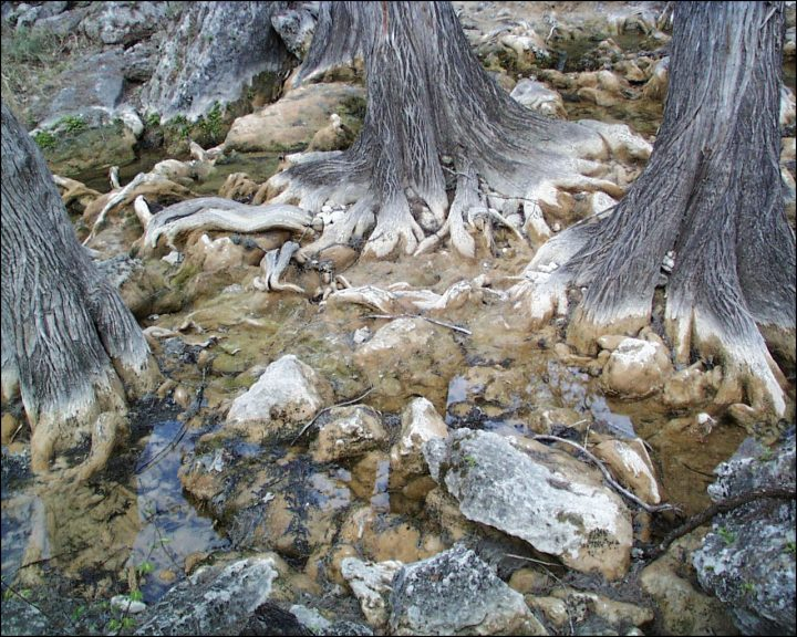 cypress-tree-roots-by-rocks