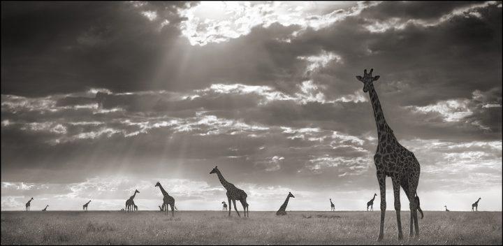 Giraffes in the wind.jpg