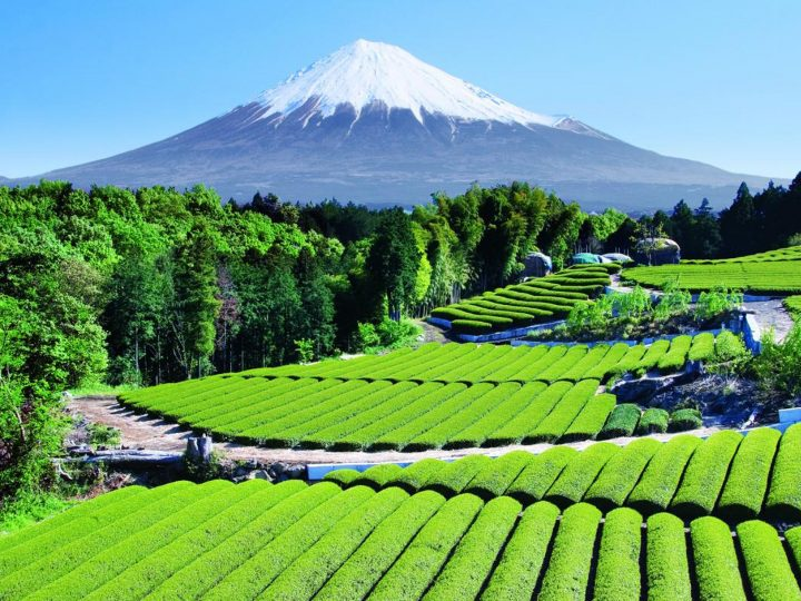 Tea Garden by Mount Fuji