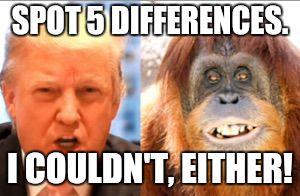trump-orangutan