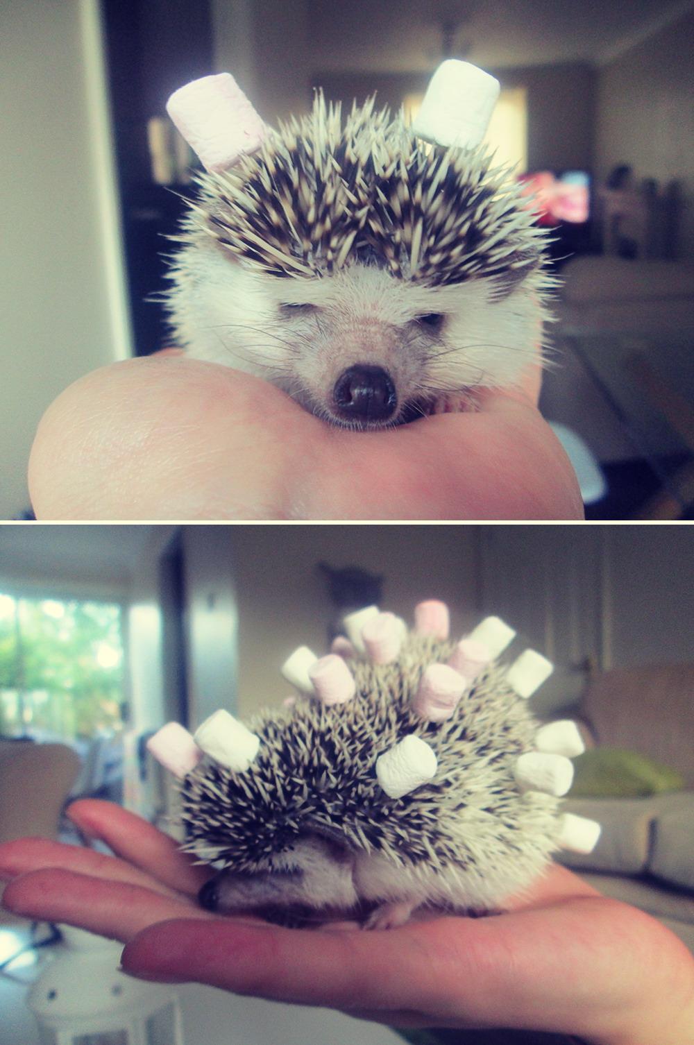 marshmellow hedgehog