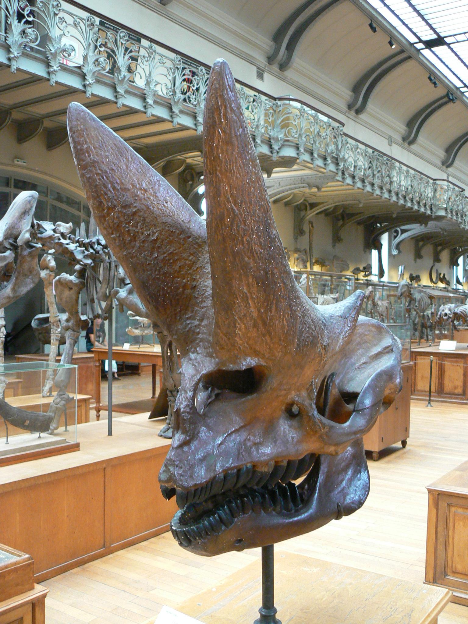 An Arsinoitherium skull.jpg