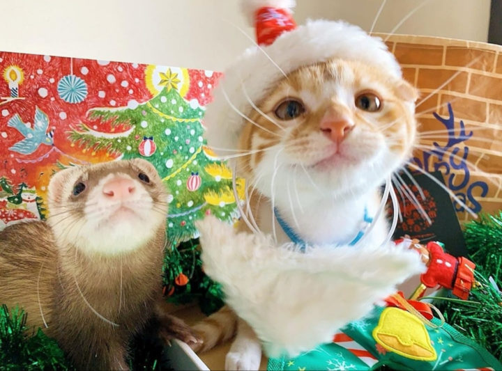 christmas cat and ferret 720x533 christmas cat and ferret