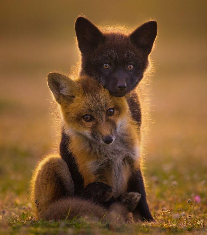 foxy embrace 720x819 foxy embrace