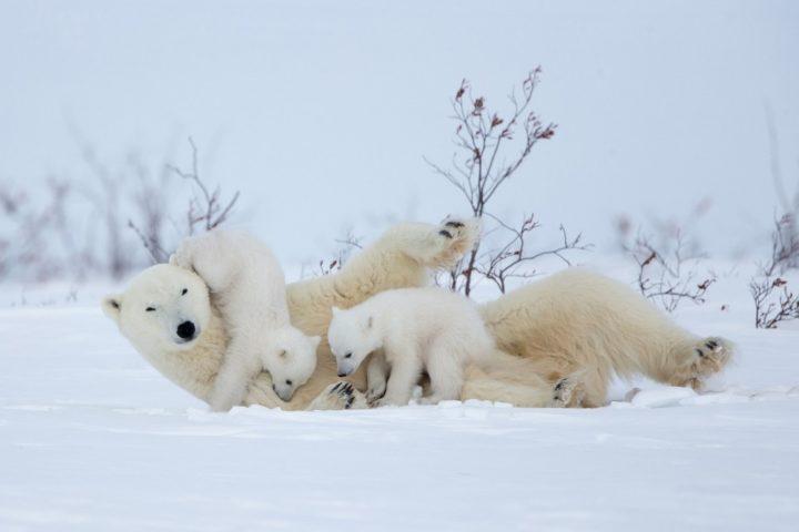 polar bear family 720x480 polar bear family