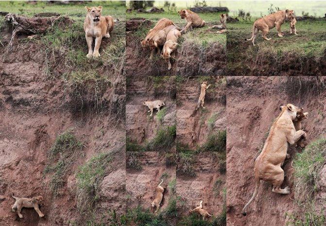 Lioness rescues cub