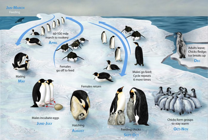 penguin-lifecycle.jpg (1 MB)