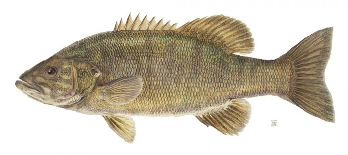 smallmouth_bass.jpg (109 KB)