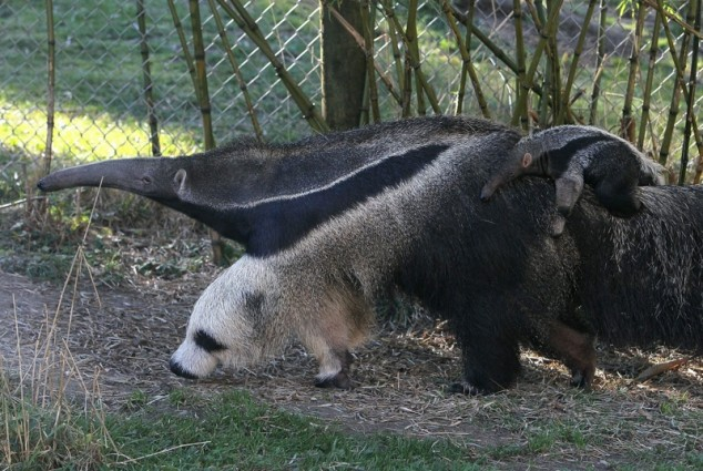 panda-footed-anteater.jpg (103 KB)
