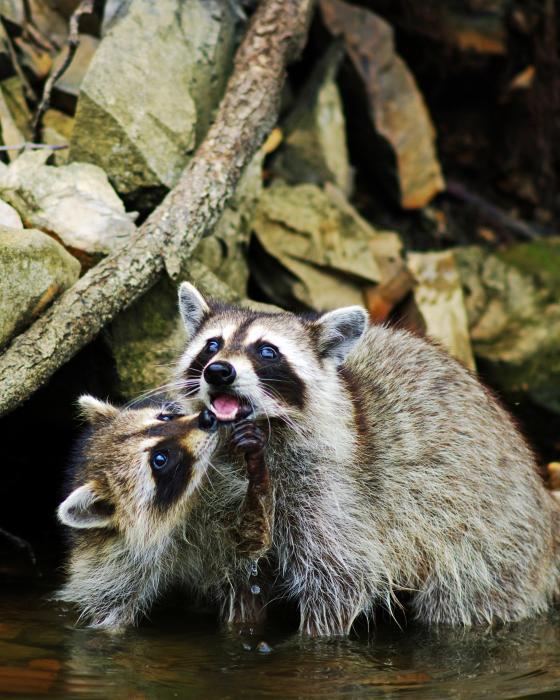 raccoon-love-ron-kruger.jpg (76 KB)