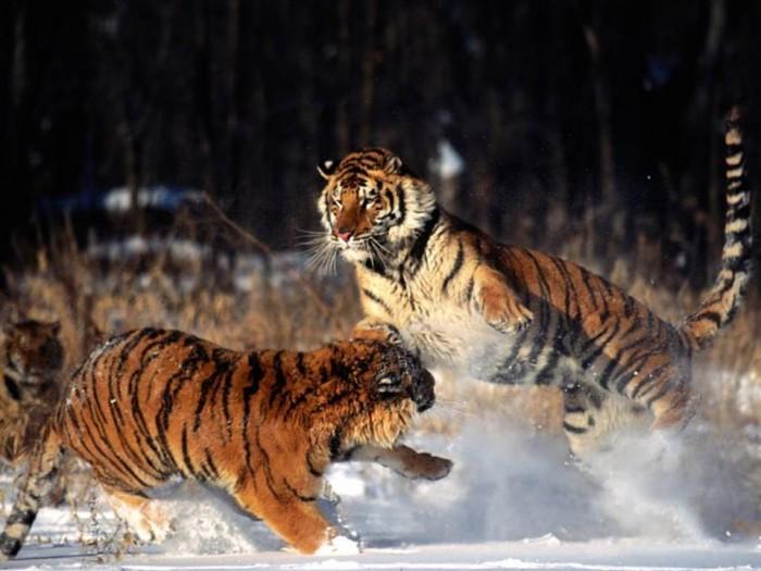tigers.jpg (80 KB)