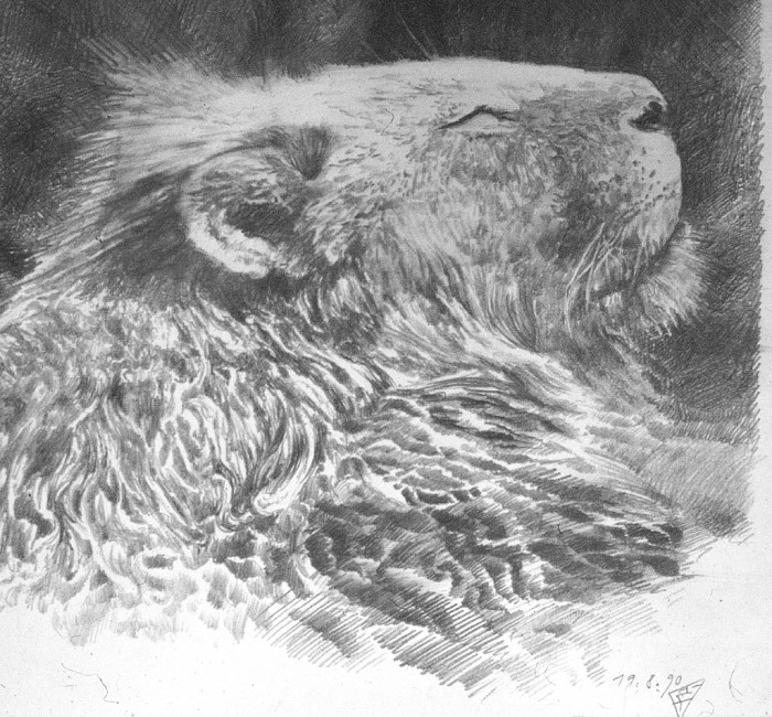 löwe 001c 700x650 lion Nature Art