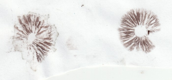 Psilocybe-semilanceata-spore-prints.jpg (287 KB)