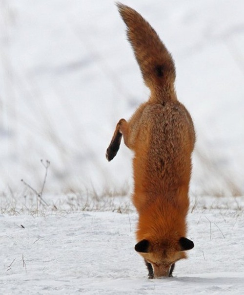226868899948303694 c5THWrz4 c I aint got no nose fox faceplant Cute As Hell Animals