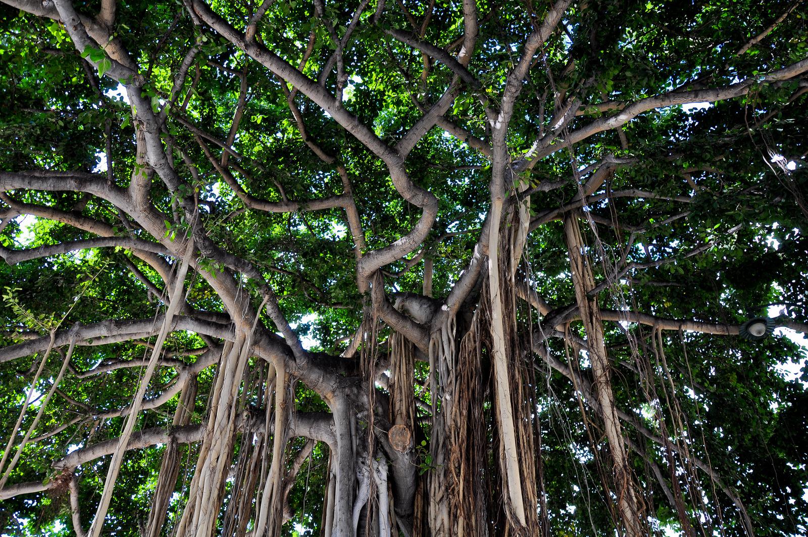 Banyan tree | MyConfinedSpace