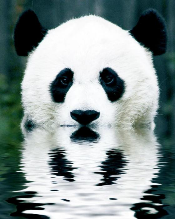 pandaflection.jpg (153 KB)