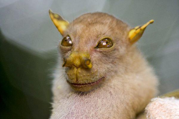 papua-new-guinea-new-species-bat_27185_600x450.jpg (29 KB)