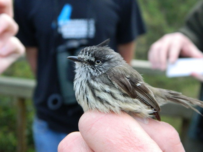 800px-Tufted_tit-tyrant_right.jpg (67 KB)