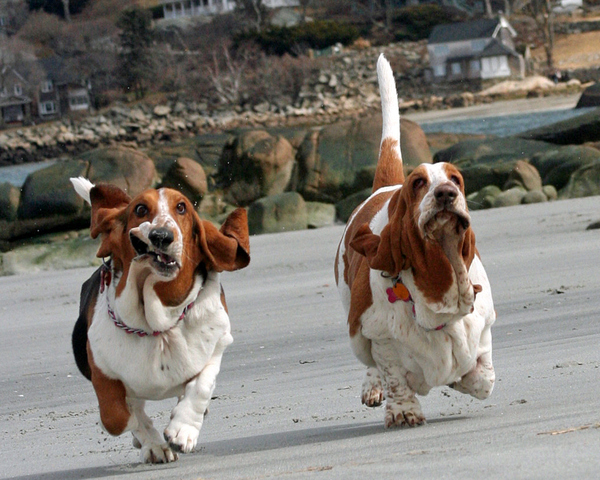 herp n derp Herp & Derp Humor hound herpaderp dogs derp Cute As Hell Animals basset
