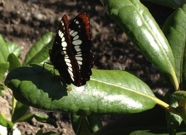 a-butterfly-poops.jpg (182 KB)