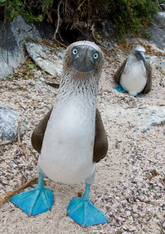Blue-footed_Booby_Guard.jpg (1 MB)