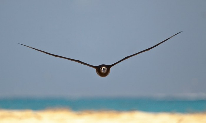 288__800x800_black-footed-albatross-coming-at-you-_y9c9463-midway-atoll-nwr.jpg (21 KB)